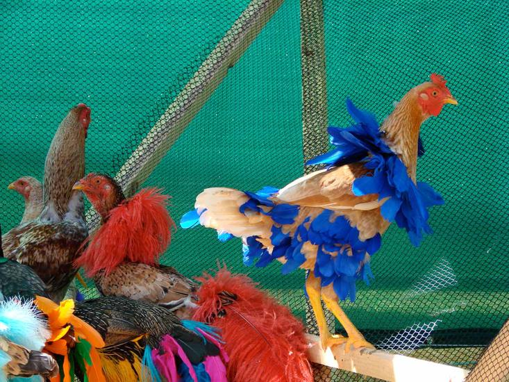 Laura Lima Gala Chickens 2004-2015 Live chickens,...
