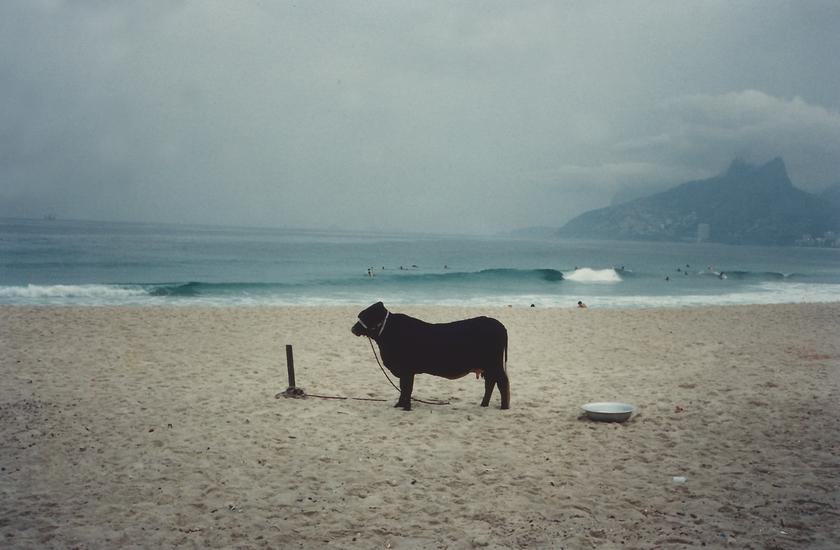 Laura Lima Cow (M=f/ W=f) 1994 Cow, water, food, a...